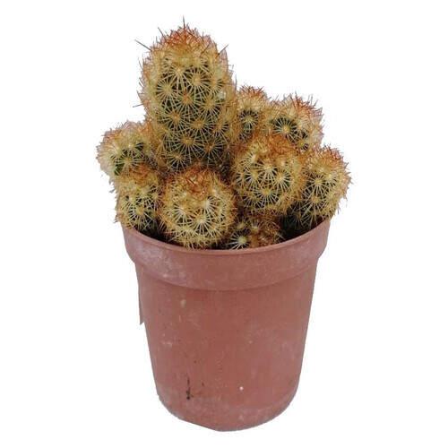 Canlı Çiçek Kaktüs (dış Mekan)